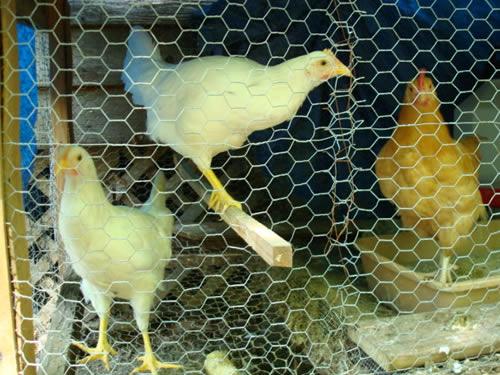 Chicken Wire Mesh Chicken Wire Products Aiji Chicken